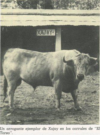 UN ARROGANTE TORO DE XAJAY