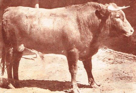 TORO DE SAN MIGUEL DE MIMIAHUAPAM_ABRIL DE 1965